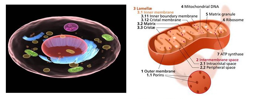 Cell and Mitochondrion